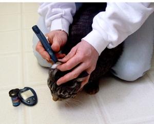 Testing a diabetic cat